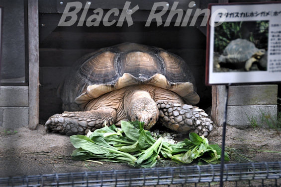 ケヅメリクガメ01 八木山動物公園