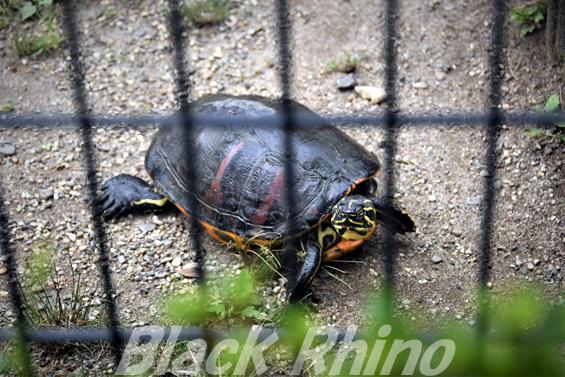 フロリダアカハラガメ02 八木山動物公園