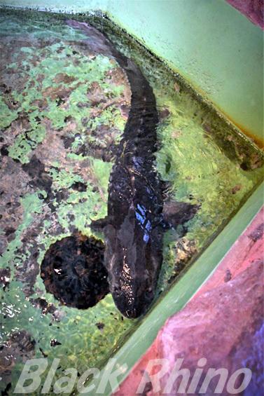 シロチョウザメ01 箱根園水族館