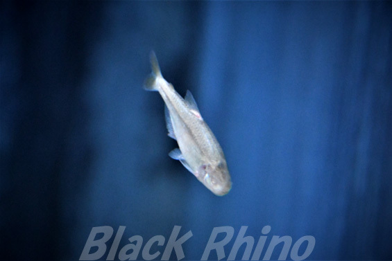 ブラインドケーブテトラ02 箱根園水族館