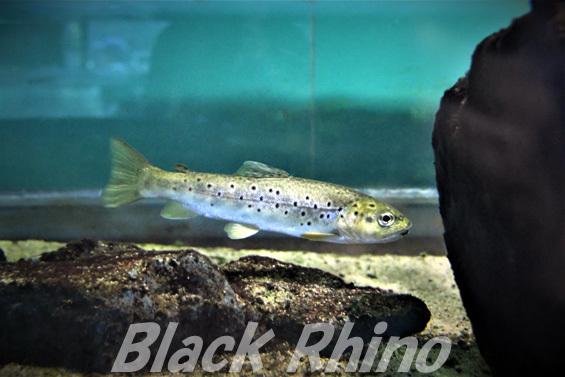 ブラウントラウト01 箱根園水族館