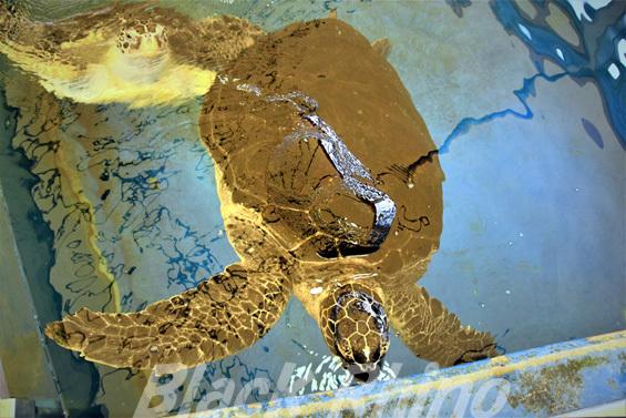 アオウミガメ02 越前松島水族館