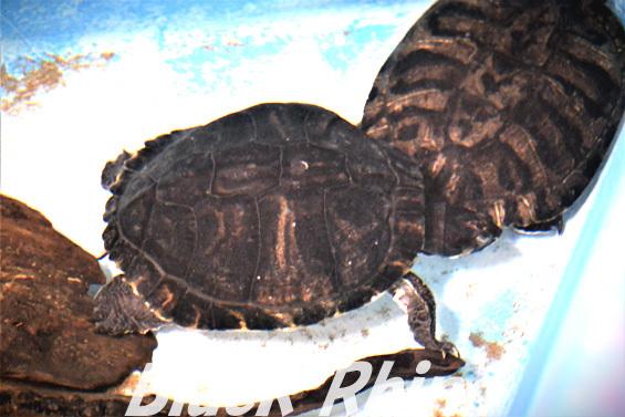 キバラガメ01 越前松島水族館