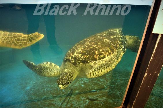 クロウミガメ01 越前松島水族館