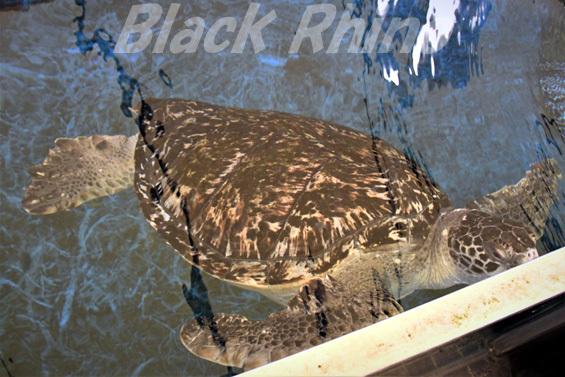 クロウミガメ02 越前松島水族館