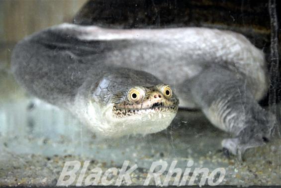 ジーベンロックナガクビガメ01 越前松島水族館