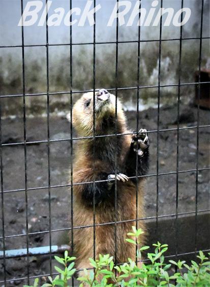 ニホンアナグマ02 盛岡市動物公園