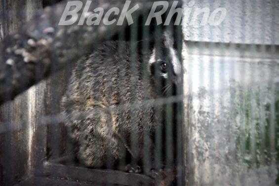 ハクビシン01 盛岡市動物公園