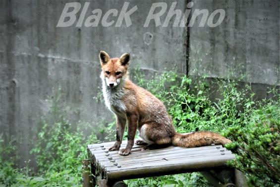 ホンドギツネ02 盛岡市動物公園
