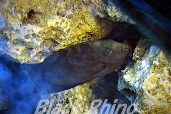 ブチアイゴ01 越前松島水族館
