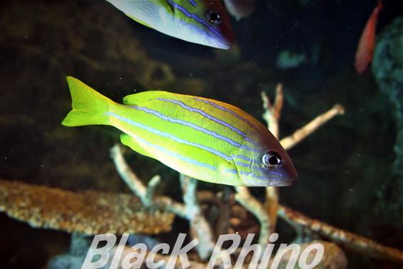 ロクセンフエダイ02 越前松島水族館