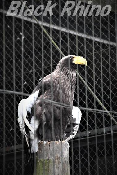 オオワシ01 八木山動物公園