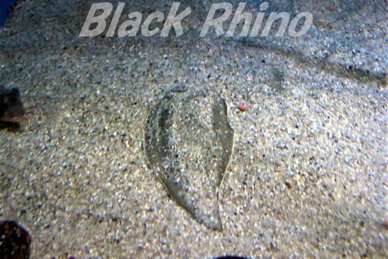 クロウシノシタ02 竹島水族館