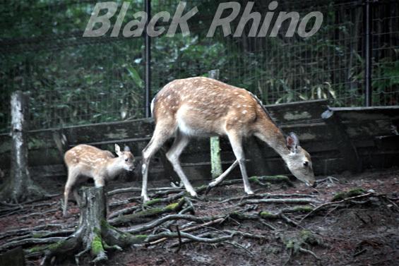ニホンジカ02 盛岡市動物公園