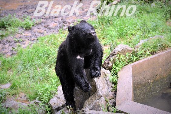ニホンツキノワグマ01 盛岡市動物公園