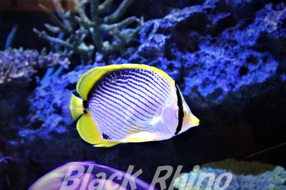 アケボノチョウチョウウオ01 竹島水族館