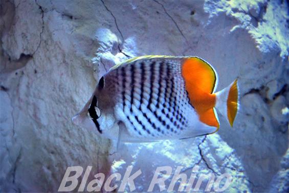 マダガスカルバタフライフィッシュ01 竹島水族館