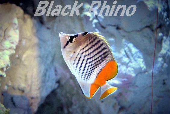 マダガスカルバタフライフィッシュ02 竹島水族館