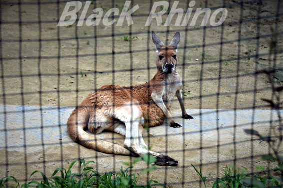 アカカンガルー01 八木山動物公園