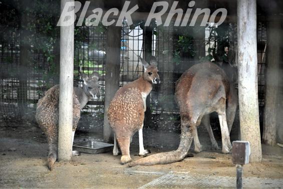 アカカンガルー02 八木山動物公園