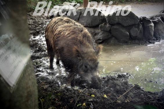 ニホンイノシシ01 八木山動物公園