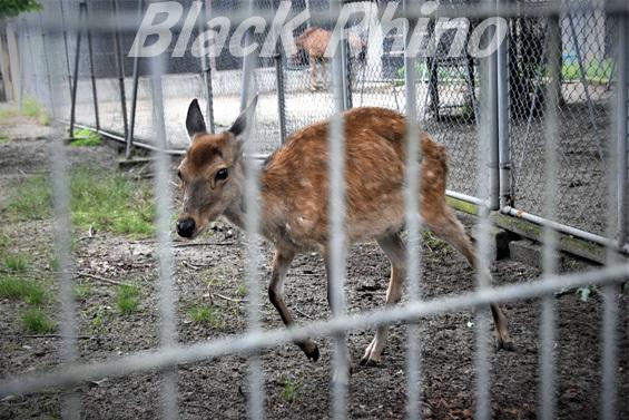 ニホンジカ(ホンシュウジカ)01 八木山動物公園
