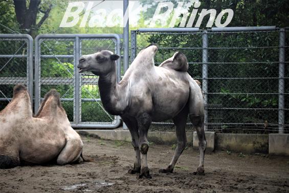 フタコブラクダ01 八木山動物公園