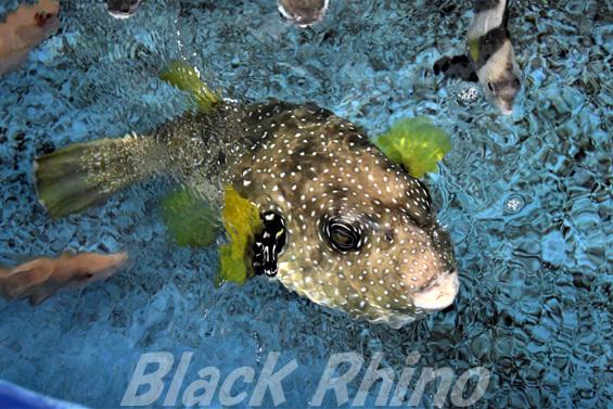 サザナミフグ03 竹島水族館