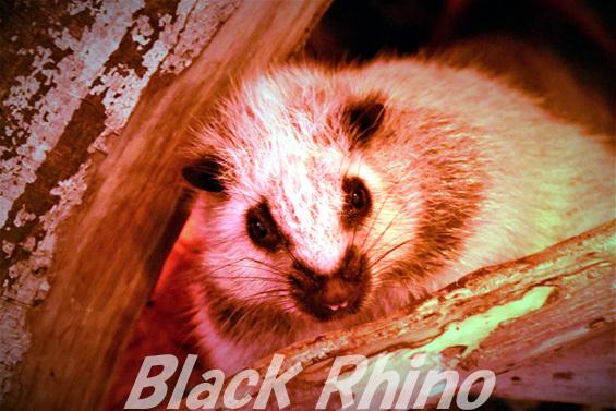 ウスイロホソオクモネズミ01 神戸どうぶつ王国