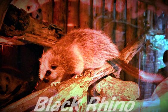 ウスイロホソオクモネズミ02 神戸どうぶつ王国