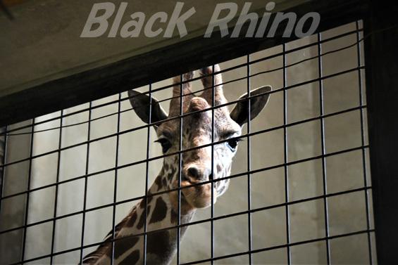 キリン01 盛岡市動物公園