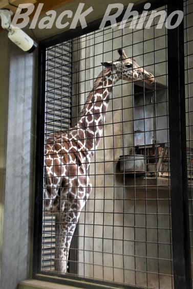 キリン02 盛岡市動物公園