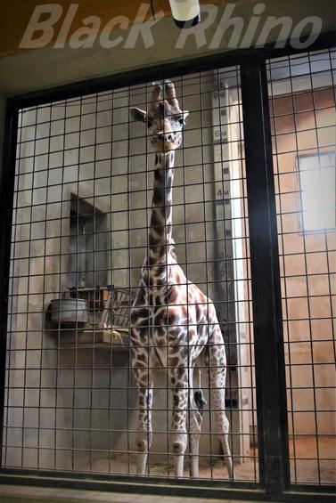 キリン03 盛岡市動物公園