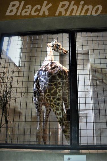 キリン04 盛岡市動物公園