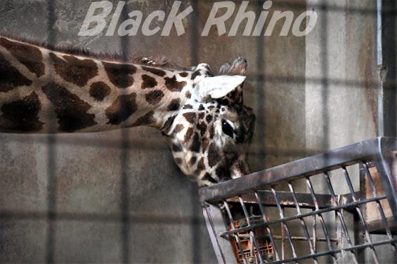 キリン05 盛岡市動物公園
