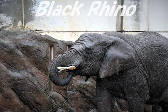 アフリカゾウ マオ02 盛岡市動物公園