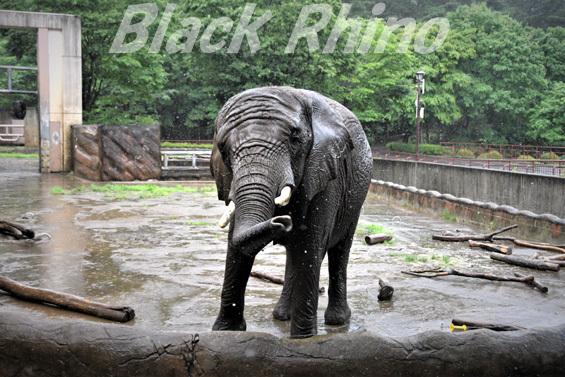 アフリカゾウ マオ03 盛岡市動物公園