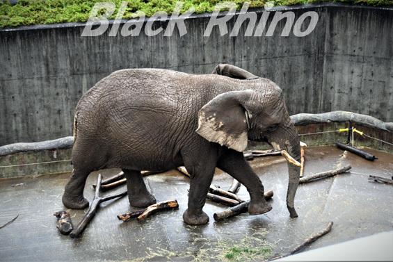 アフリカゾウ マオ04 盛岡市動物公園