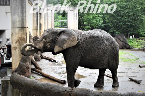 アフリカゾウ マオ05 盛岡市動物公園