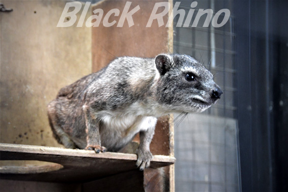 ケープハイラックス02 盛岡市動物公園