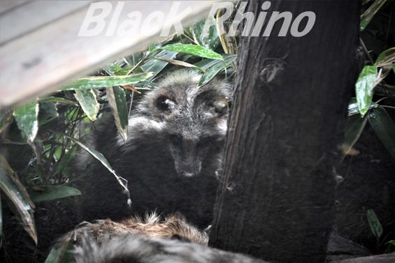 タヌキ01 八木山動物公園