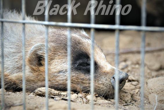 ニホンアナグマ01 八木山動物公園