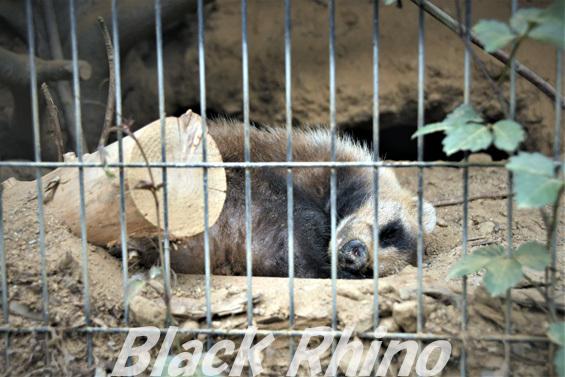 ニホンアナグマ02 八木山動物公園