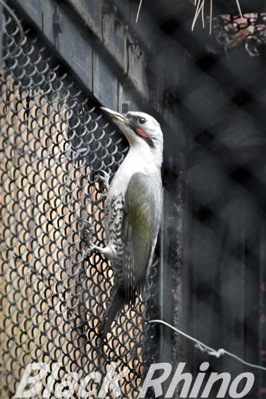 アオゲラ01 盛岡市動物公園
