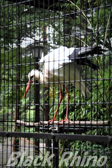 シュバシコウ02 盛岡市動物公園