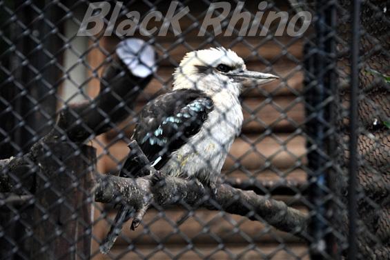 ワライカワセミ01 盛岡市動物公園