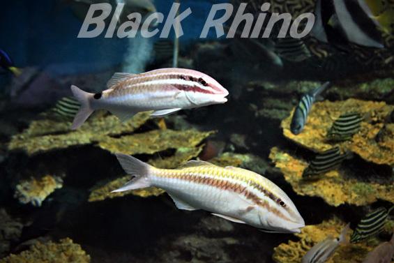 オキナヒメジ ミナベヒメジ 01 渋川マリン水族館