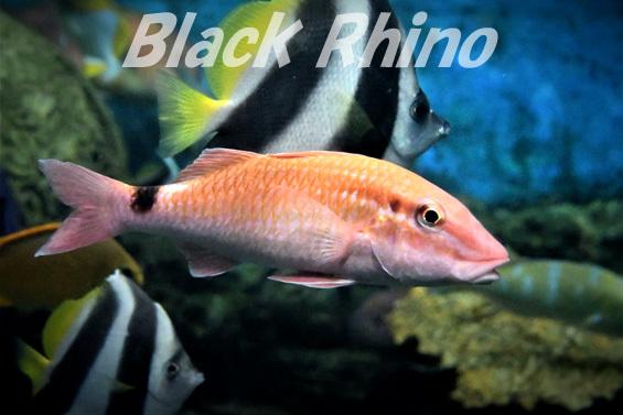 ホウライヒメジ01 渋川マリン水族館