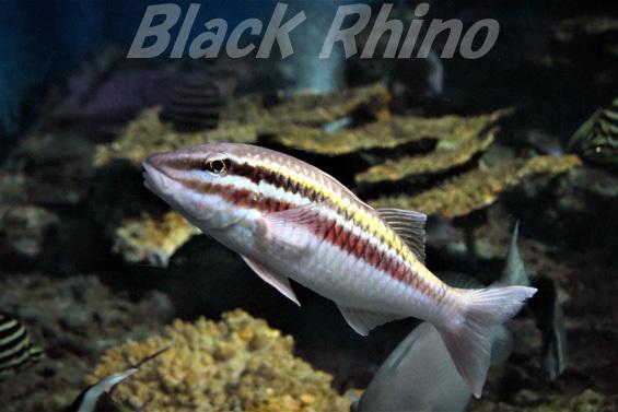 ミナベヒメジ02 渋川マリン水族館