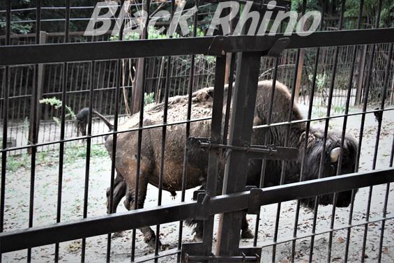アメリカバイソン02 池田動物園